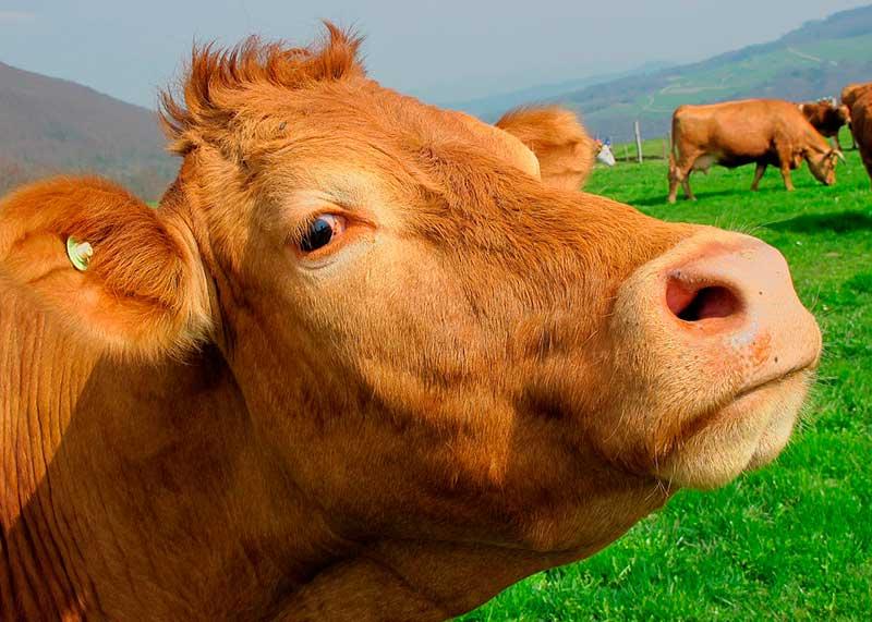 Нодулярный дерматит крупного рогатого скота
