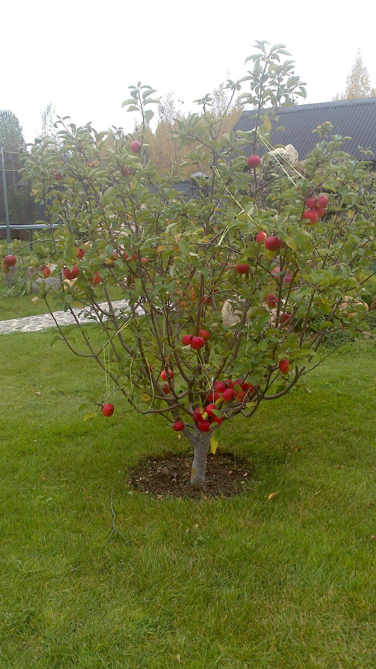 Карликовые яблони: топ-23 лучших сорта, описание и фото   +отзывы