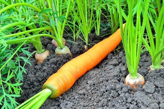 Как выращивать брюкву