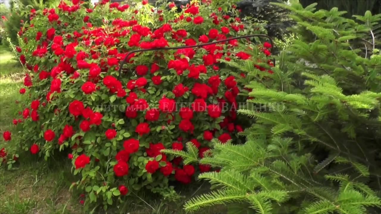 Плетистая роза «фламентанц»: описание и фото