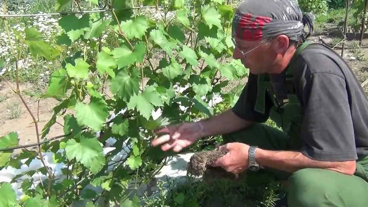 Почему осыпается виноград в августе. почему осыпается завязь винограда? что делать? почему ягоды мелкие