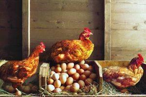 Куда подевались яйца и что делать, если не несутся куры?