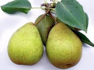 Описание и особенности выращивания груши сорта первомайская