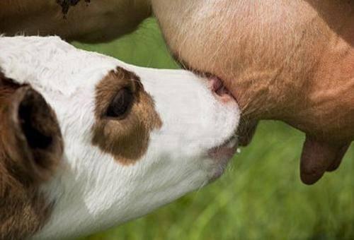 Мастит у коровы после отела: как лечить в домашних условиях народными средствами