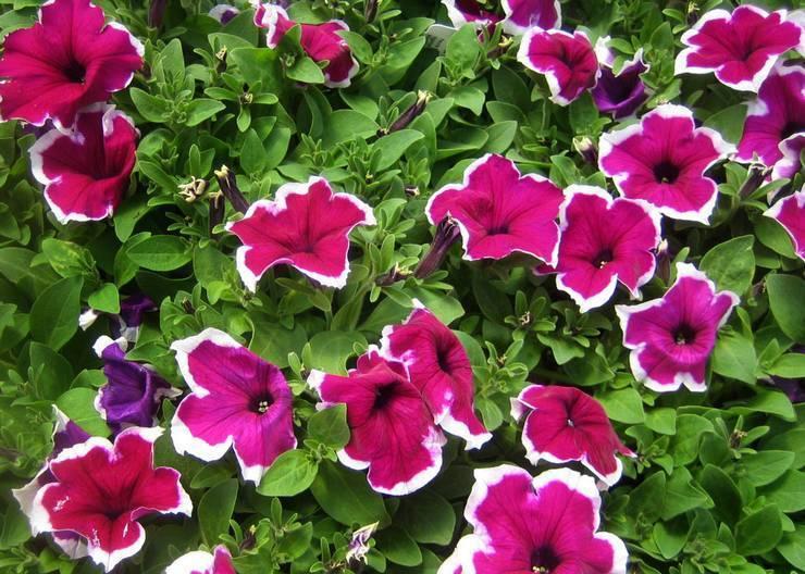 Как собрать и сохранить семена петунии