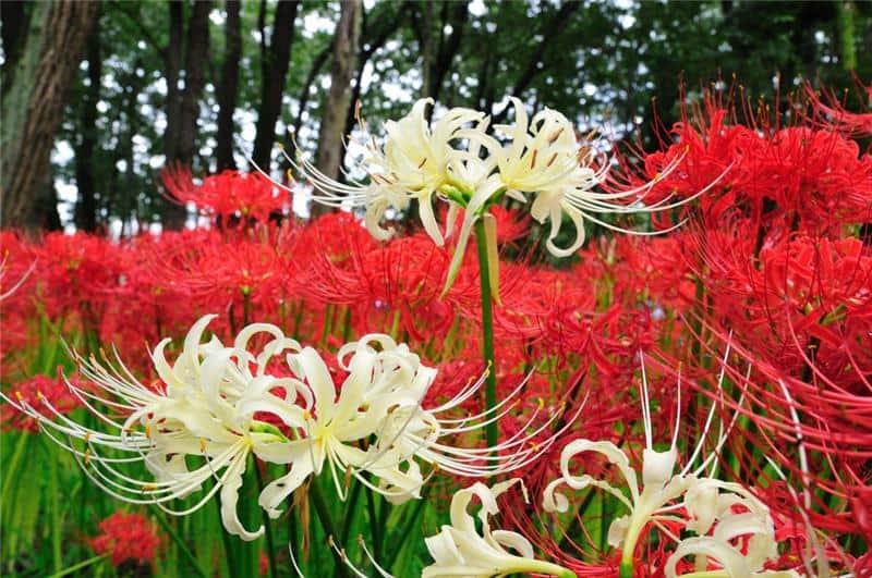 О лилии кудреватой: описание сортов кудрявой лилии, выращивание саранки
