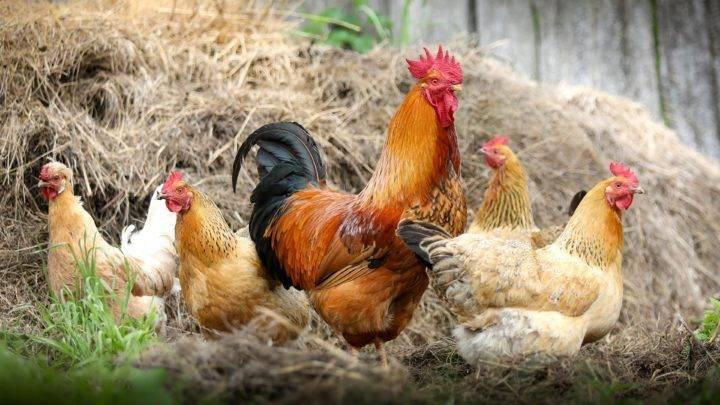 Как петухи оплодотворяют курицу? сколько кур может оплодотворить петух?