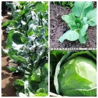 Подкормка капусты в открытом грунте: 4 совета и 4 этапа