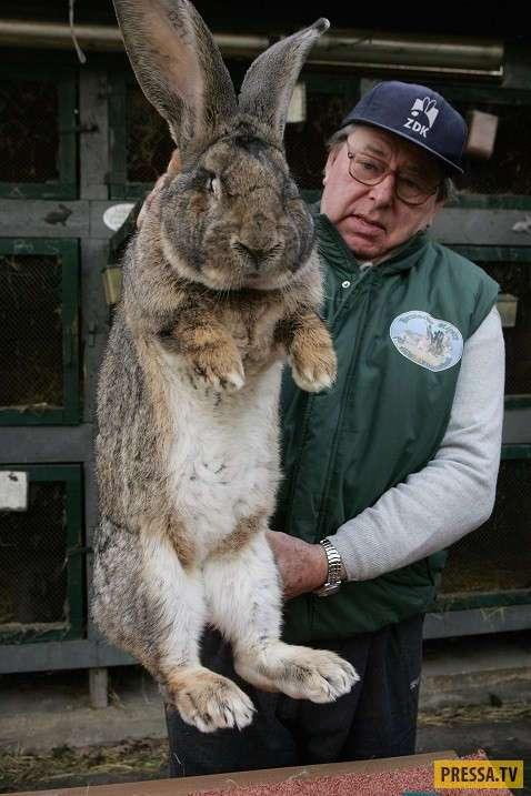 Лучшие породы кроликов для дачи.