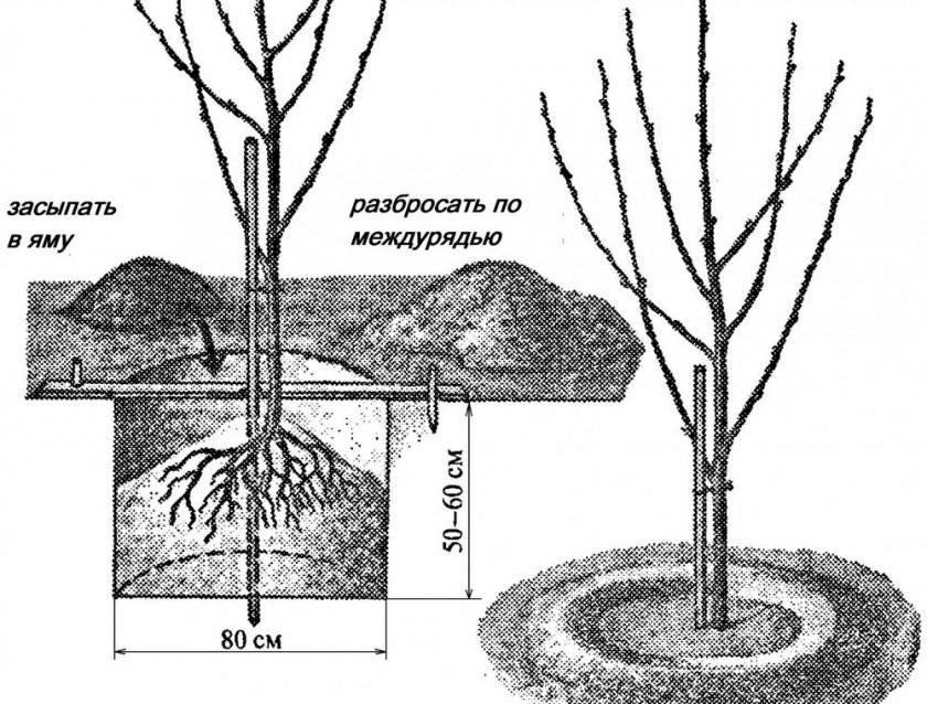Как посадить черешню весной саженцами в открытый грунт
