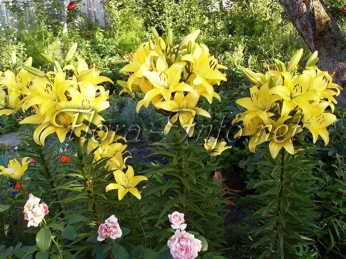 Когда и как пересаживать ирисы? пересадка после цветения. когда можно пересадить с одного места на другое? лучше пересаживать весной, осенью или летом?