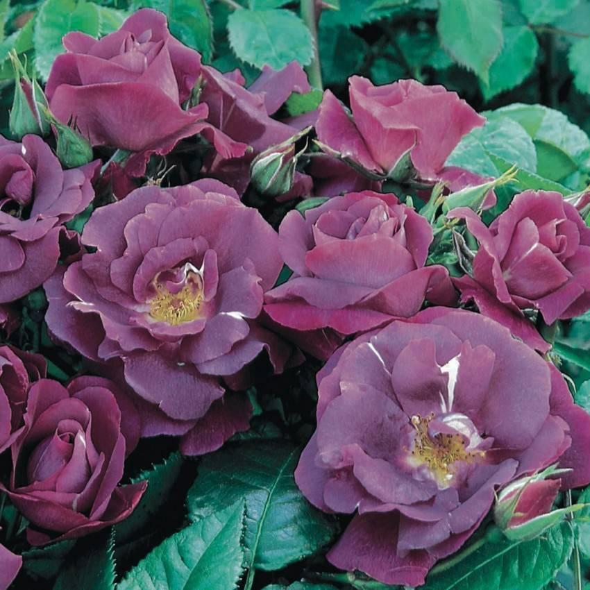Красивая свети роза. самые необычные розы