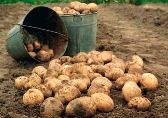 Благоприятные дни для посадки картофеля в мае 2018 года подскажет лунный календарь