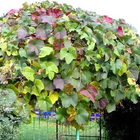 Посадка амурского винограда осенью. сорта амурского винограда