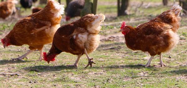 Особенности содержания и разведения голошейных кур