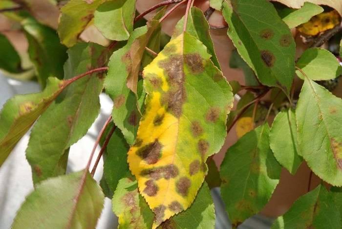 Пожелтели листья у груши: причины пожелтения в мае-июне, как лечить