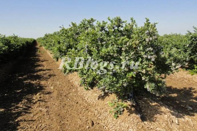 Как вырастить голубику: основы успешного культивирования кустарника с высоковитаминными ягодами