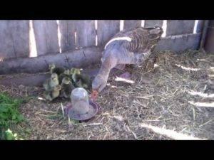Учимся выращивать и ухаживать за гусятами дома