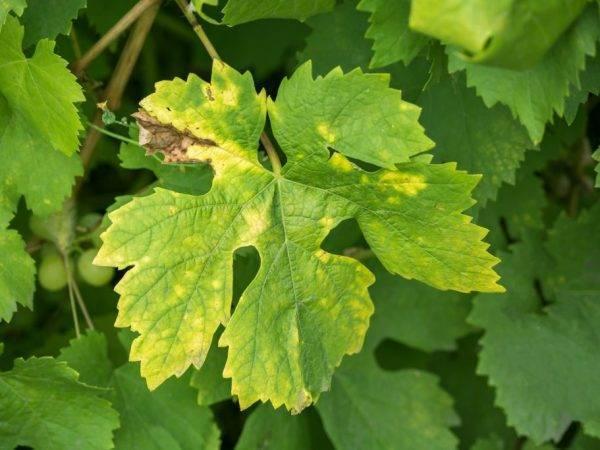 Источники пятен на листьях винограда