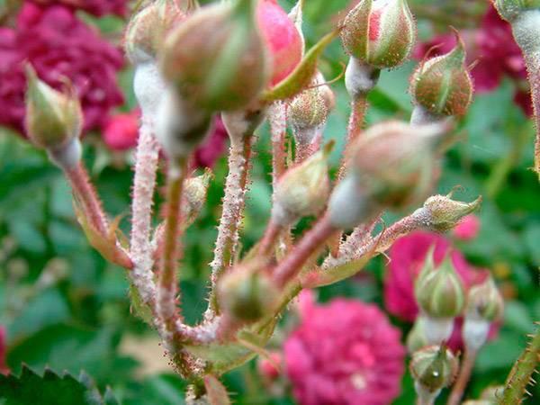 О мучнистой росе на розах: что делать, как лечить, чем обработать белый налет