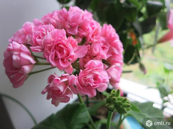 Герань розебудная: фото эппл блоссом и других сортов, описание посадки и ухода в домашних условиях, сравнение с тюльпановидной