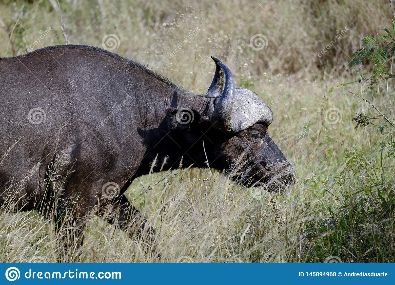 Азиатский буйвол, индийский буйвол место обитания условия для жизни применение в хозяйстве