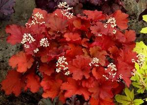 Как посадить гейхеру в открытом грунте: выращивание и уход, размножение