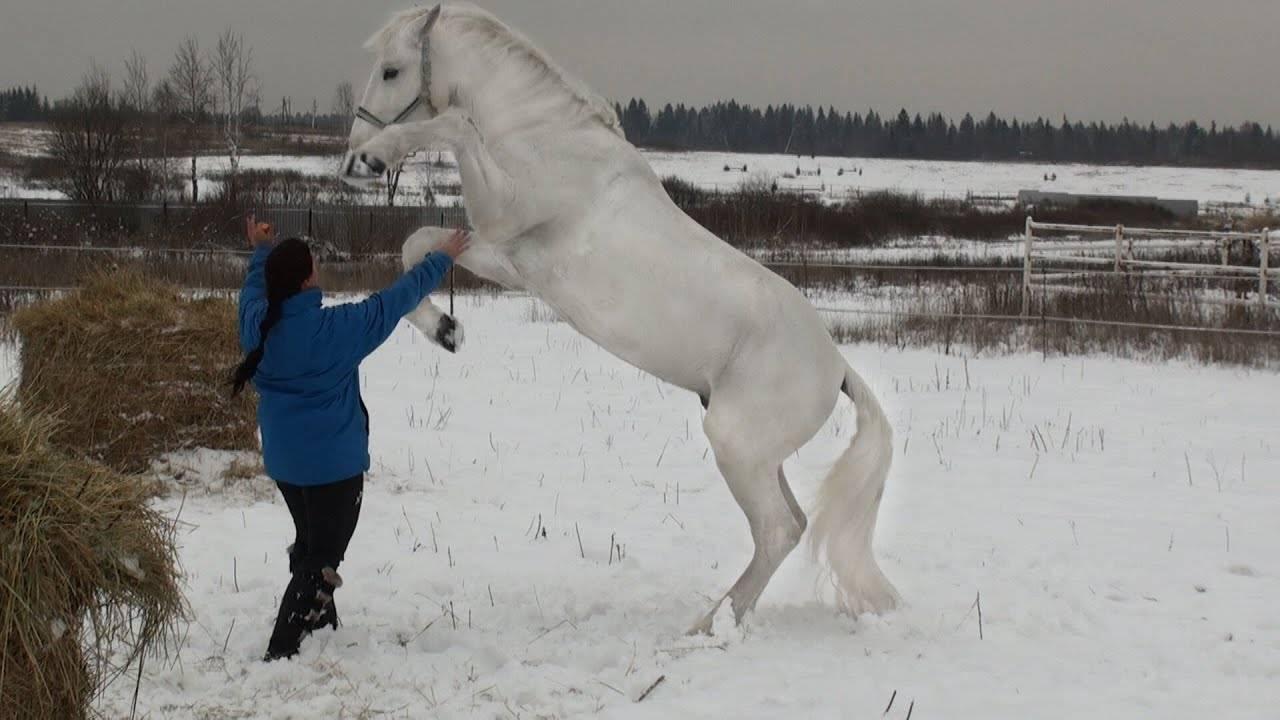 Орловский рысак — породы лошади