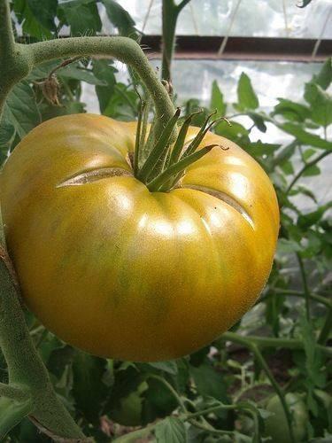 Томат палка: описание и характеристика сорта, отзывы, фото, урожайность   tomatland.ru