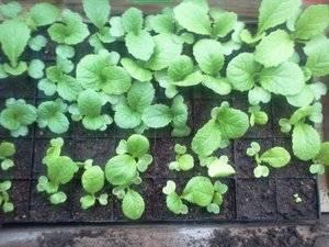 Как вырастить пекинскую капусту на огороде