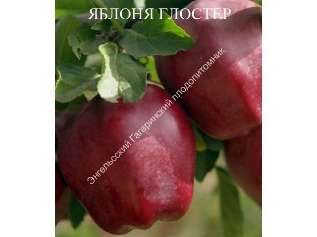 Яблоня сорта глостер описание фото отзывы