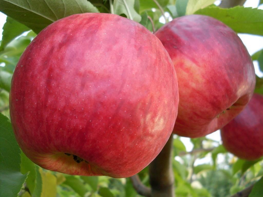 Золотой медалист среди яблок — сорт жигулевский