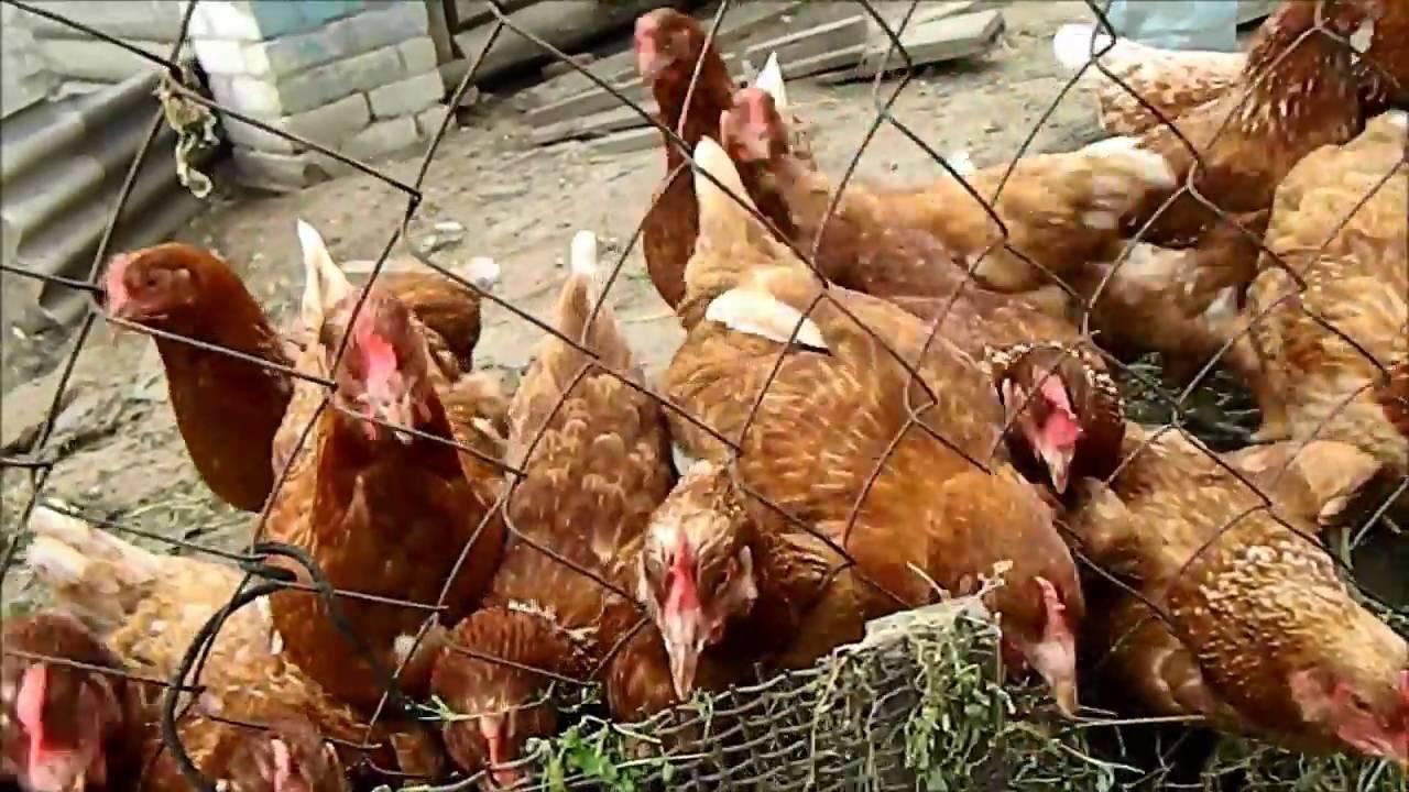 Какой крупой можно кормить куриц