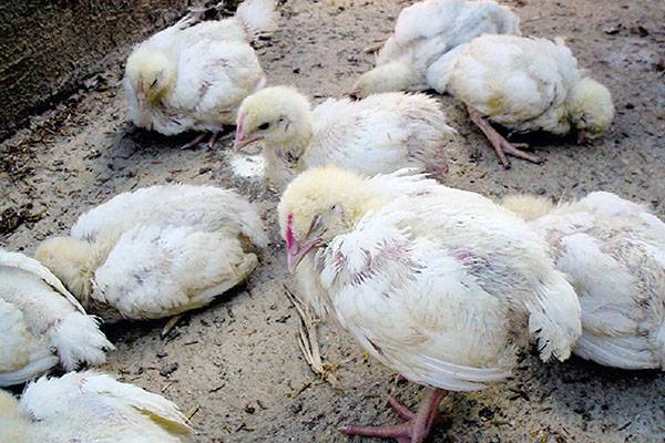 Болезни цыплят бройлера: симптомы и лечение