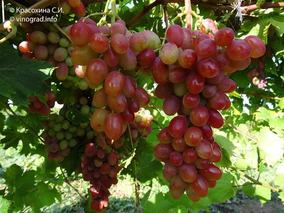 Виноград гелиос описание сорта фото отзывы видео