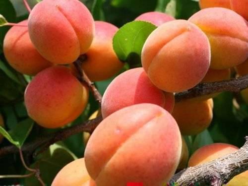 Как правильно посадить абрикос и ухаживать за ним в средней полосе