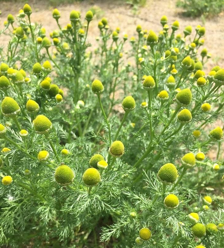 Ромашка аптечная: какими лечебными свойствами и противопоказаниями обладает растение