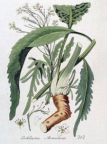 Польза, вред хрена для здоровья человека, в том числе организма женщины: что в составе и какие витамины, схож ли по свойствам с горчицей, калорийность растения
