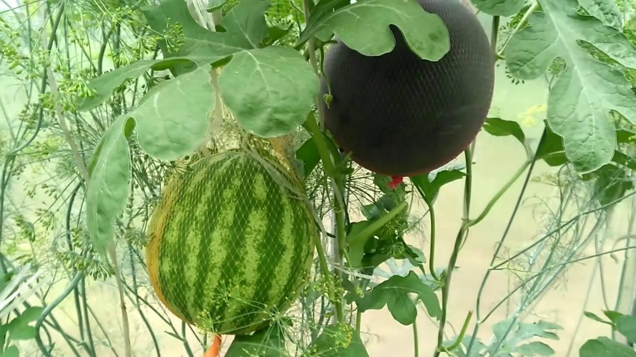 Выращиваем арбузы: основные правила агротехники и тонкости выбора сорта для разных регионов