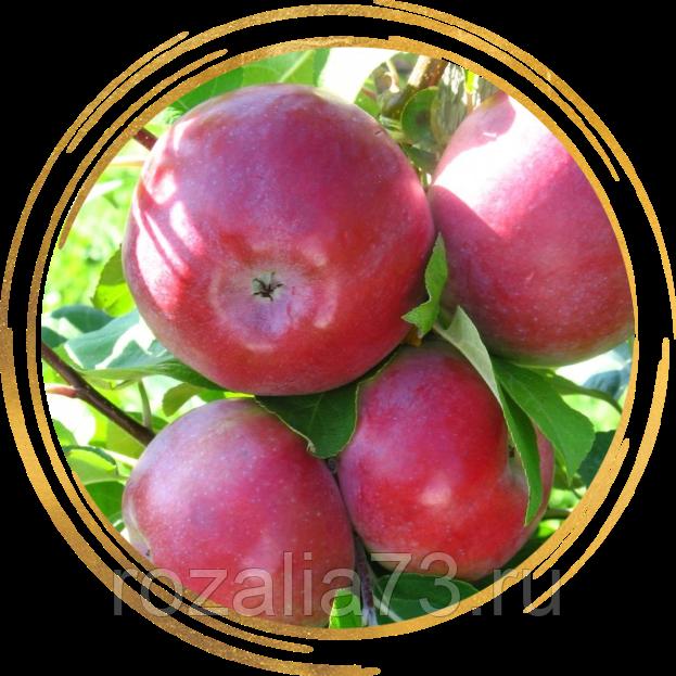 Характеристика и описание яблони «лобо»