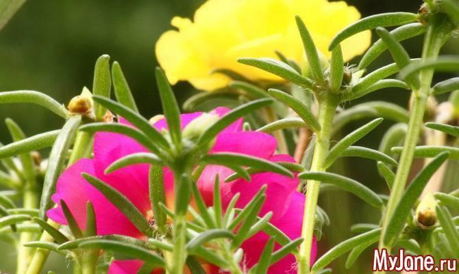 Огородный портулак – что это такое, как выглядит растение, особенности посадки, ухода и размножения