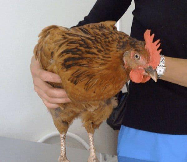 У курицы забился зоб: как помочь птице