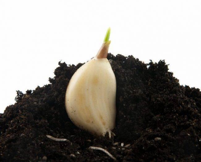 Дни посадки чеснока в 2020 году по лунному календарю: яровой и озимний сорт