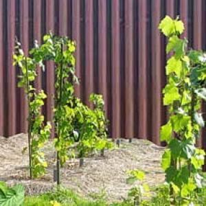 Соседство винограда с другими культурами, что можно посадить