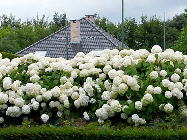 О древовидной гортензии стронг анабель — характеристика сорта и выращивание