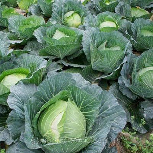 Описание и характеристика сорта капусты каменная голова. фото овоща