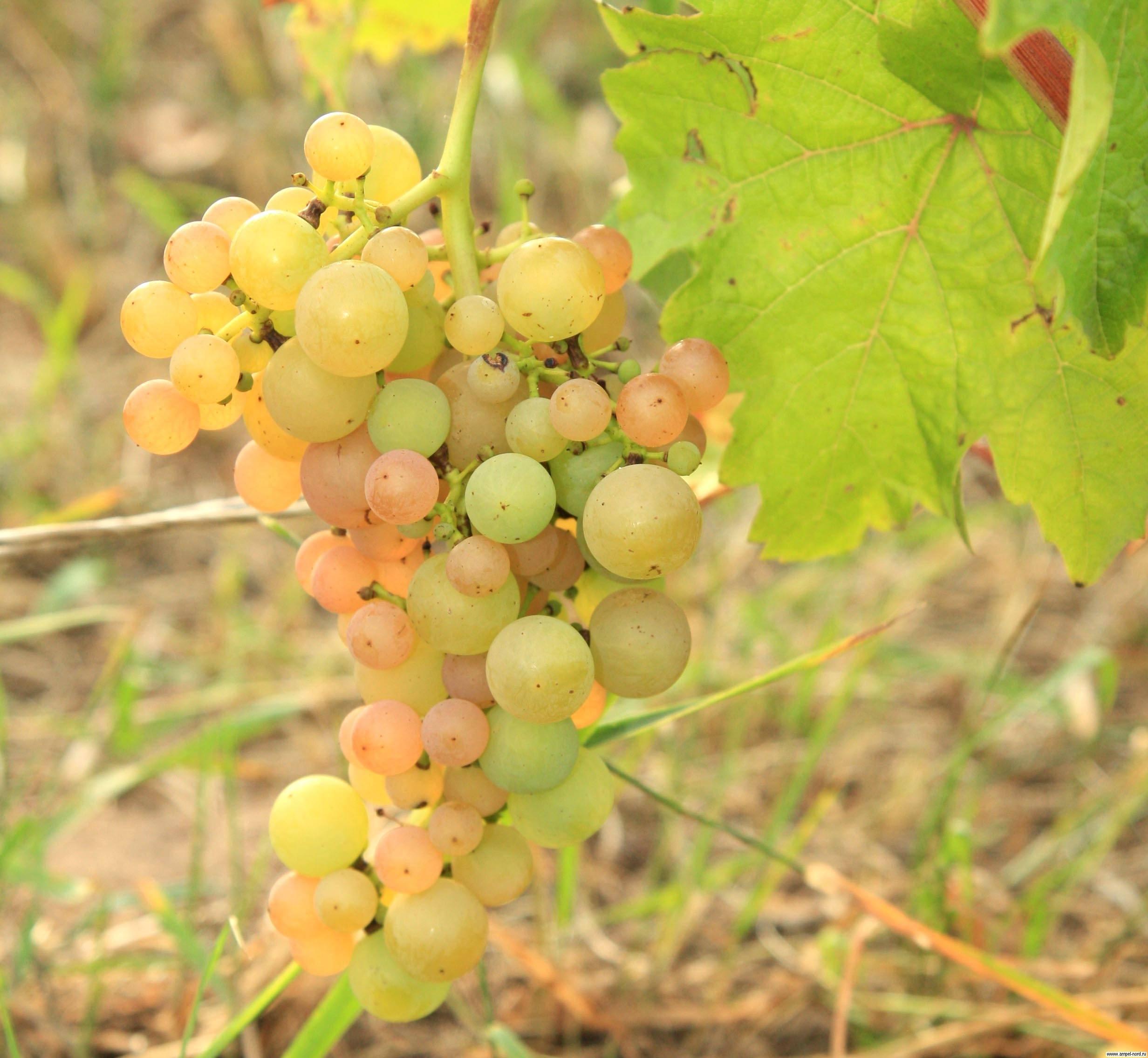 «платовский» — технический морозостойкий сорт винограда