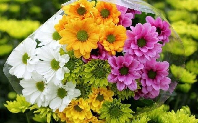 Как укоренить хризантему из букета в домашних условиях