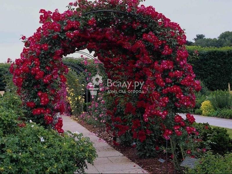 Плетистые розы: посадка, уход, выращивание и размножение