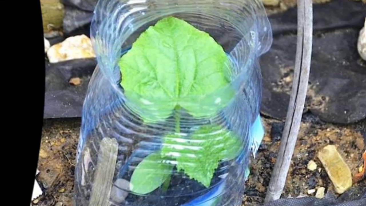 Рассада в пластиковых бутылках: нюансы выращивания рассады в пластиковых бутылках.   красивый дом и сад